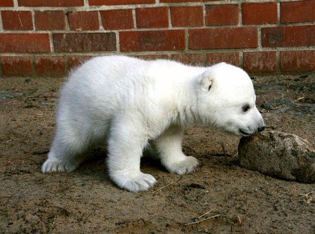 baby polar bear knut