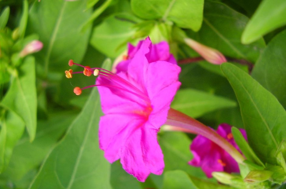 Mirabilis jalapa four o'clock flower marvel of Per