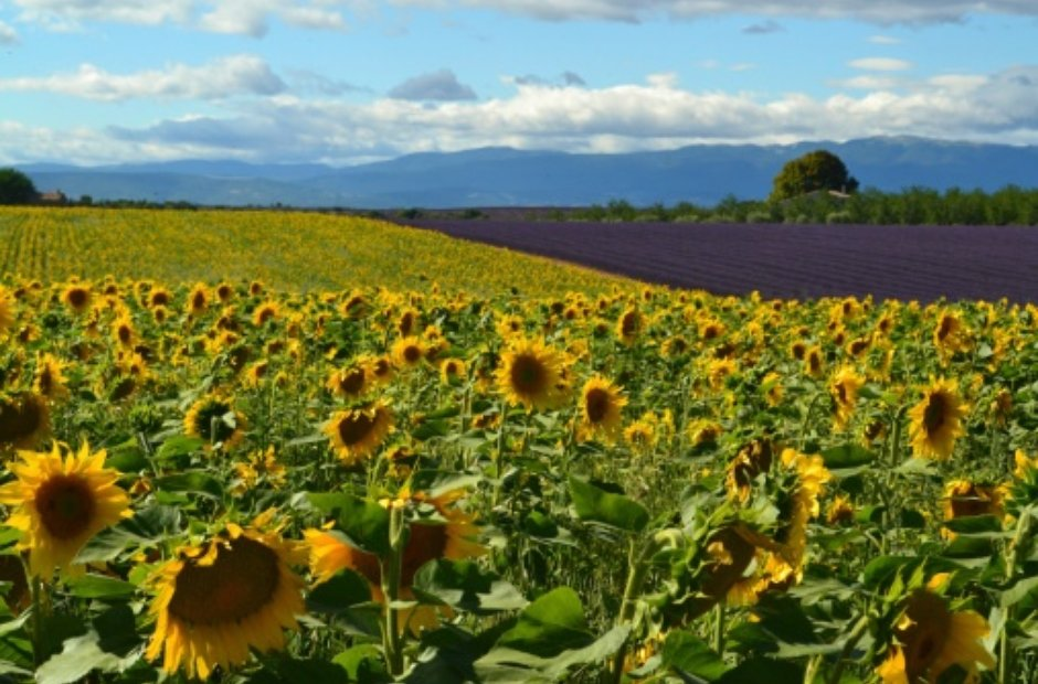 Provence France sunflowers Milhaud