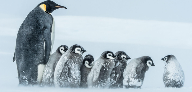 Frozen Planet penguins