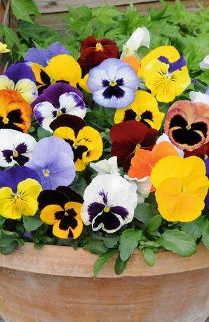 CFM Gardening Pansies