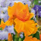 CFM Gardening Re blooming iris